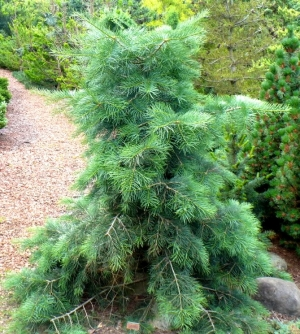 Abies concolor 'Gables Weeping' 2 - Year Graft