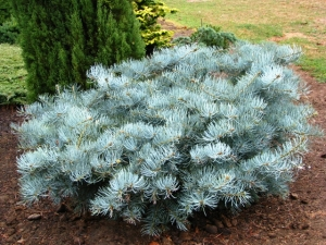 Abies concolor Wattezii Prostrata 2 -Year Graft