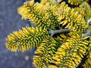 Abies nordmanniana 'Golden Spreader 1 - Year Graft