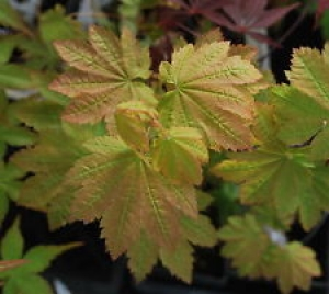 Acer circinatum Dels Dwarf  DELS DWARF VINE MAPLE  1 - Year Graft