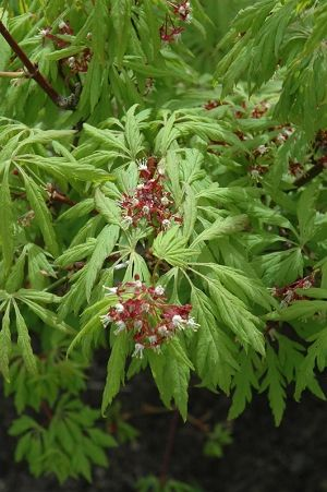 Acer circinatum Monroe CUTLEAF OREGON VINE MAPLE  2 - Year Graft