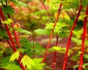 Acer circinatum Pacific Fire  2 - Year Graft