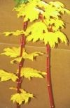 Acer circinatum Pacific Fire  2 - Year Graft - 1