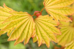 Acer circinatum Sunglow  (Sunglow Oregon Vine Maple) 3 - Year Plant