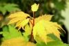Acer circinatum Sunny Sister  1 - Year Graf - 3