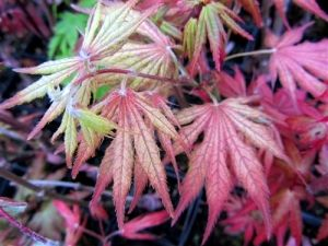 Acer japonicum Elmwood 2 - Year Graft