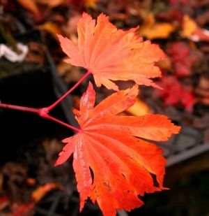 Acer japonicum Emmetts Pumpkin 2 - Year Graft