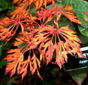 Acer japonicum Fairy Lights  1 -Year Graft