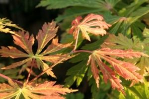 Acer japonicum Filiforme 1 - Year Graft
