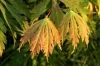 Acer japonicum Filiforme 1 - Year Graft - 1