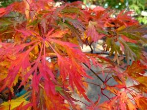 Acer japonicum Green Cascade     3 - Year Graft