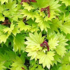 Acer japonicum Jims Red  1 - Year Graft