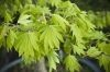 Acer japonicum Ogurayama  3 - Year Graft - 1