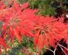 Acer japonicum Oregon Fern 2 - Year Graft - 2