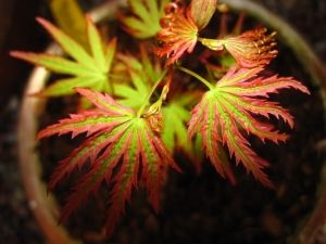 Acer palmatum Abigail Rose  2 - Year Graft
