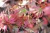 Acer palmatum Abigail Rose  2 - Year Graft - 2