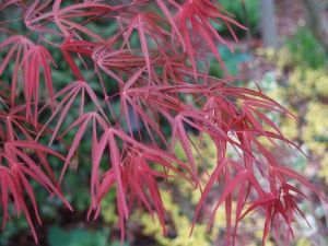 Acer palmatum Aka Hosada  2 - Year Graft
