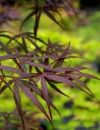 Acer palmatum Aka Hosada  2 - Year Graft - 1