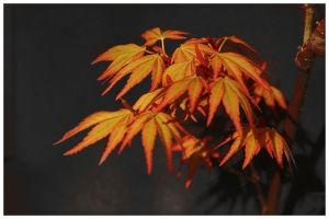 Acer palmatum Akane 2 - Year Graft