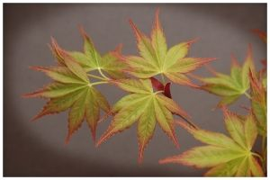 Acer palmatum Aoba Jo   3  - Year Graft