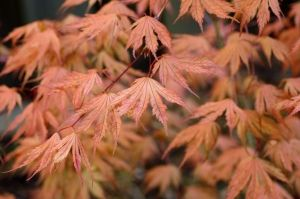 Acer palmatum Ariadne   3 - Year Graft
