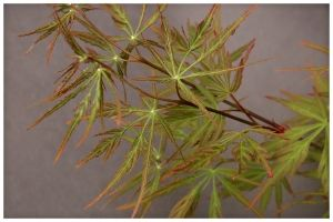 Acer palmatum Autumn Fire 3 -Year Graft