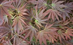 Acer palmatum Beni Gasa 1 - Year Graft