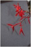 Acer palmatum Beni maiko  1 - Year Graft - 2
