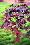 Acer palmatum Bloodgood 2 - Year Graft - 1