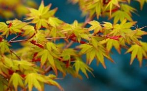 Acer palmatum Calico 1 - Year Graft