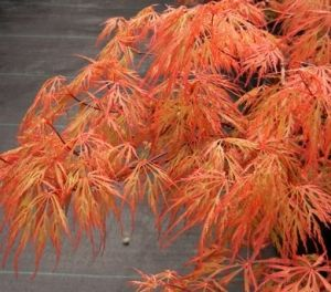 Acer palmatum Chantilly Lace  2 - Year Graft