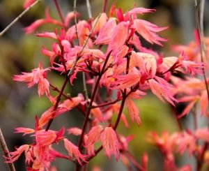 Acer palmatum Coral Pink  1 - Year Graft
