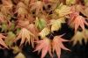 Acer palmatum Coral Pink  1 - Year Graft - 1