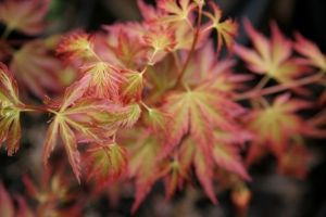 Acer palmatum Cynthias Crown Jewel     1 - Year Graft