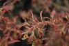 Acer palmatum Cynthias Crown Jewel     1 - Year Graft - 1