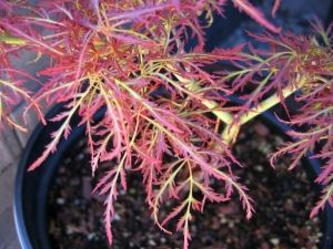 Acer palmatum dissectum Baby Lace  2 - Year Graft