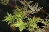 Acer palmatum dissectum Emerald Lace    2 - Year Graft - 2