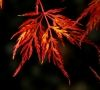 Acer palmatum dissectum Emerald Lace    2 - Year Graft - 4