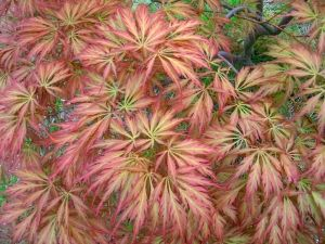 Acer palmatum dissectum Pink Lace 2 - Year Graft