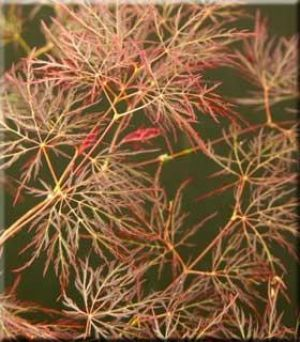 Acer palmatum dissectum Red Feather  2 - Year Graft