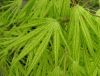 Acer palmatum Elmwood  3 - Year Graft - 3
