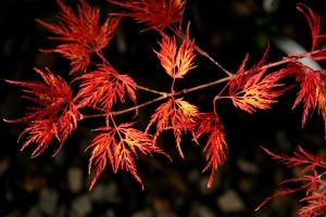 Acer palmatum Emerald Lace  2 - Year Graft
