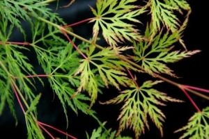 Acer palmatum Emerald Lace  4 - Year Graft