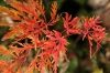 Acer palmatum Emerald Lace  4 - Year Graft - 1
