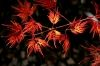 Acer palmatum Emerald Lace  4 - Year Graft - 2