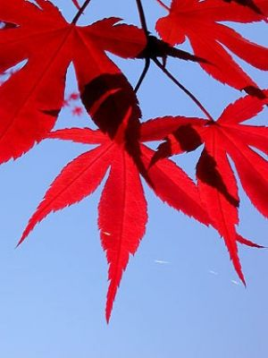 Acer palmatum Emperor One  4 - Year Graft