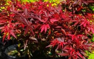 Acer palmatum Fireball    1 - Year Graft