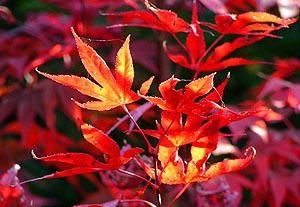 Acer palmatum Fireglow     2 - Year Graft