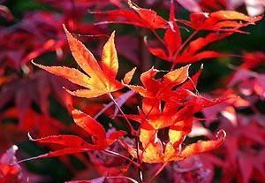 Acer palmatum Fireglow     3 - Year Graft