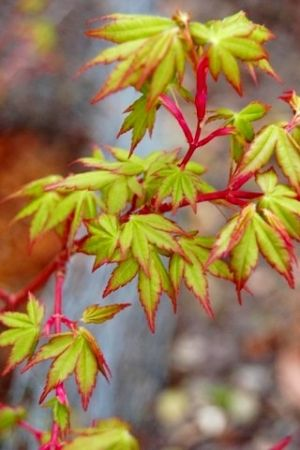 Acer palmatum Fjellheim    1 - Year Graft